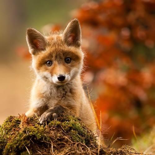 28899-Baby-Fox